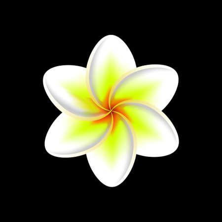 frangipani flower isolated on a black background