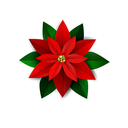 Poinsettia flower, symbol of Christmas on white Vector illustration
