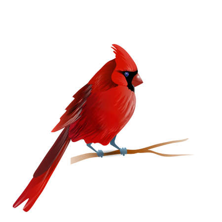 Vector illustration of red cardinal bird isolated on white Çizim