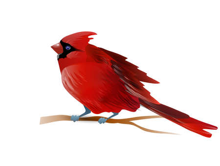 Vector illustration of red cardinal bird isolated on white Фото со стока
