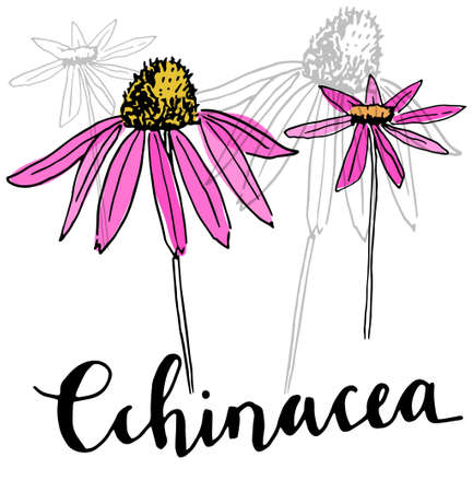 Echinacea vector drawing. Isolated purpurea flower and leaves. Illustration