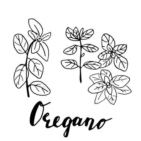 Ink oregano herbal illustration. Çizim