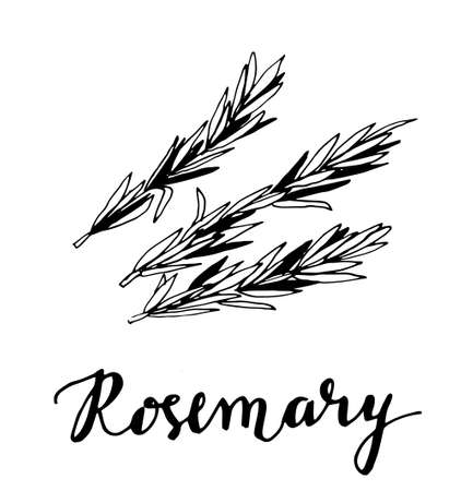 rosemary sketch style vector illustration
