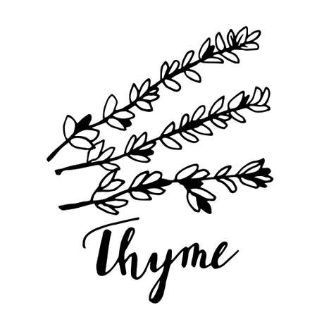Hand drawn thyme plant with leaves isolated on white background.