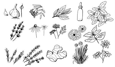 Herbs and medicinal plants collection in hand drawn isolated objects on white background.