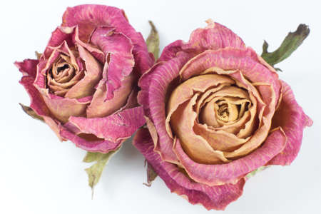 Two dry red rose buds with sepals on a white background. Close-up top view.
