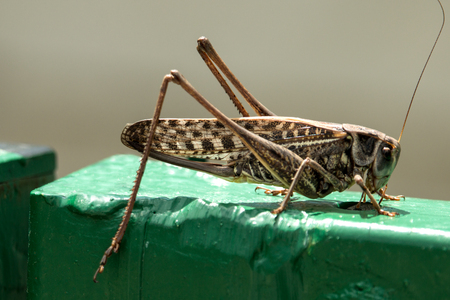 Brown locust sitting on the fence is looking for food