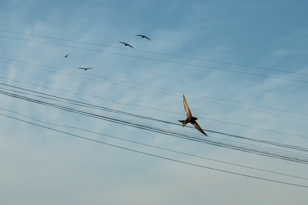 flocking: Swift Bird flying against a clear blue sky. Stock Photo