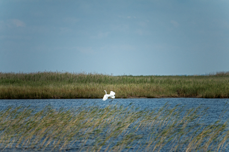 Great white heron (Ardea alba), smoothly descends on the water surface of lake Stok Fotoğraf