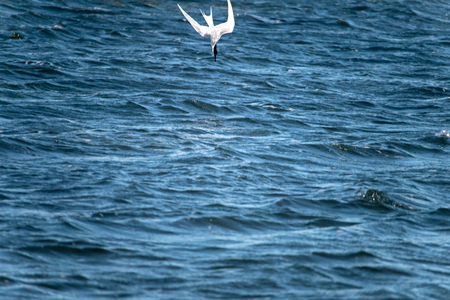 The lesser black-backed gull (Larus fuscus) flying  to cloud the sky background