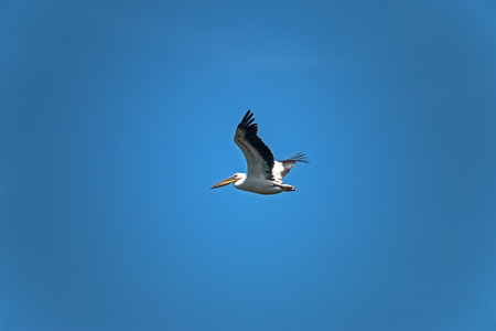 The great white pelican (Pelecanus onocrotalus) is a bird in the pelican family, flying in the blue sky.