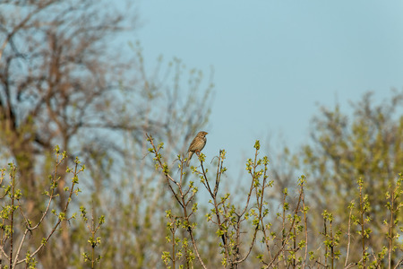 The corn bunting (Emberiza calandra) is a passerine bird in the bunting family Emberizidae, a group now separated by most modern authors from the finches, Fringillidae. Stock Photo