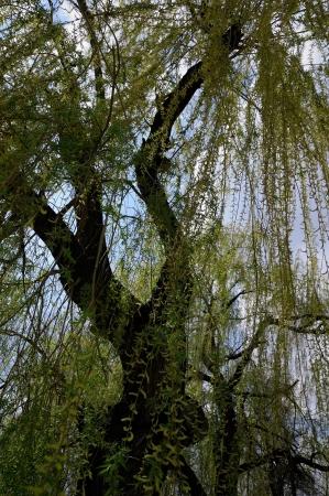 salix alba: White willow tree