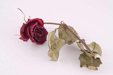 mortal: wilt rose Stock Photo