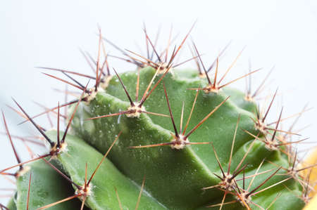 macro of green cactus with long spikes