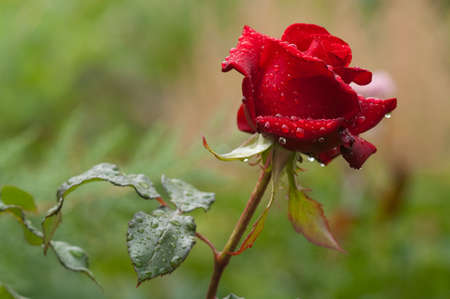 garden red rose with dew