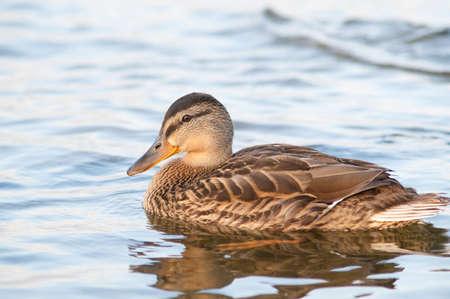alone duck swim in the lake