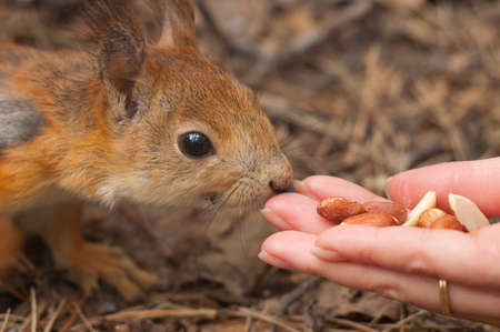 brown squirrel eating nuts from hand