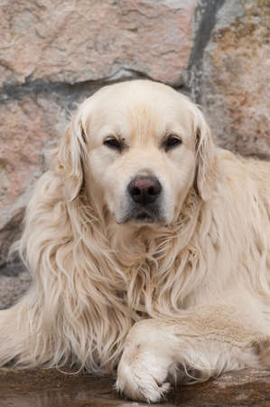 portait of big friendly dog