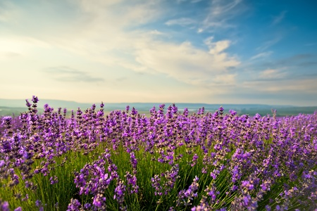 violeta: El brillante cielo azul y el campo de lavanda púrpura Foto de archivo