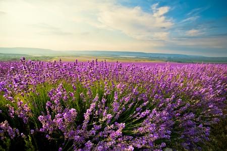 champ de fleurs: Le ciel bleu vif et violet sur le terrain de la lavande