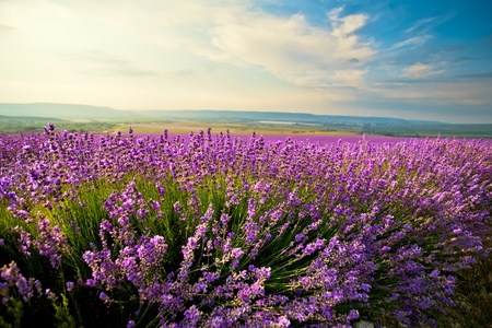 field of flowers: The bright blue skies and purple lavender field Stock Photo
