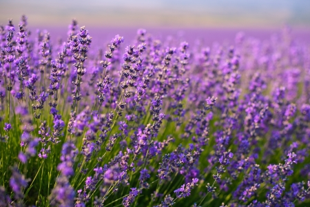 field of flowers: purple lavender flowers in the field