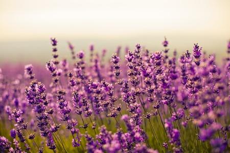 flores moradas: violeta flores de lavanda en el campo
