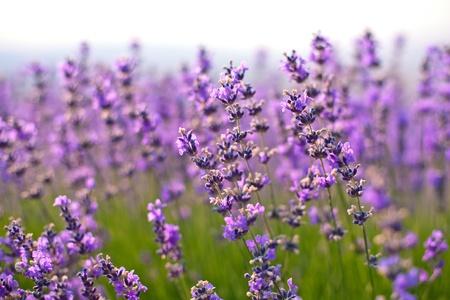 필드에 보라색 라벤더 꽃