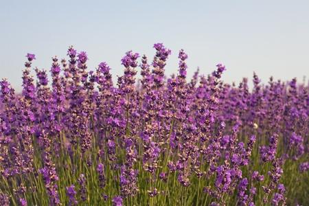 purple lavender flowers in the field photo