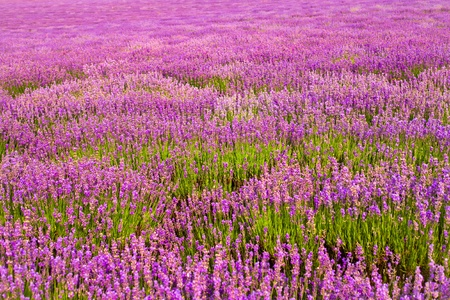lavender coloured: purple lavender flowers in the field