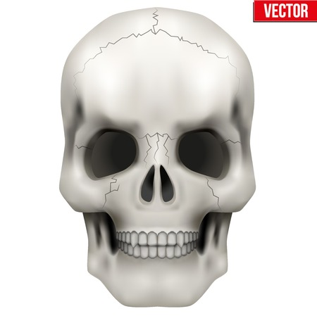 Vector Human skull. Anatomy Illustration on isolated white background Vector
