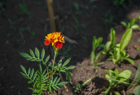 erectum: Tagete flower in the soil. Blooming Orange flower Stock Photo