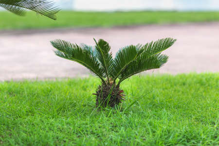 small true sago palm on the green lawn