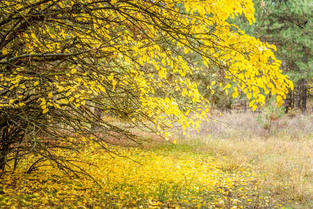 yellowed foliage on a tree and yellow fallen leaves under a tree in an autumn park or forest. golden season