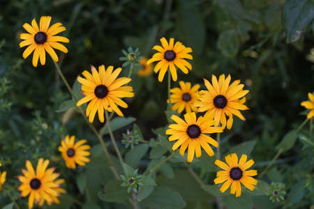 Yellow flowers with black center rudbeckia hirta or black eyed stock photo yellow flowers with black center rudbeckia hirta or black eyed susan growing in the green garden mightylinksfo