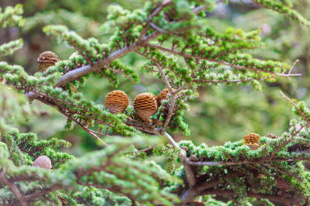 brown bumps on green spruce branch, nature texture