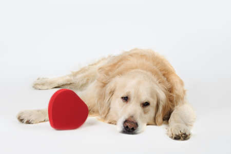 sad dog Golden Retriever breed lying down with red heart on white background. Valentines day, love, romance, marriage concept