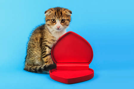cute little Scottish fold kitten with a box in the shape of a heart on blue background. Valentines day, love, marriage concept Stock Photo