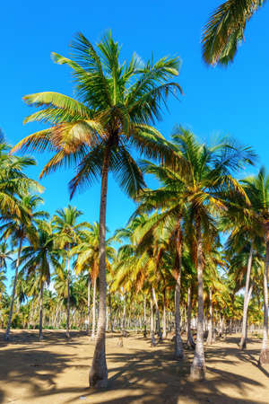 a lot of palm trees, tropical landscape. Dominican Republic