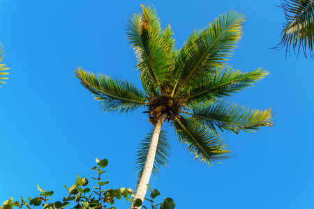 The top of a palm tree with green leaves on blue sky background, nature background