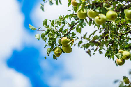 pears ripening on a green tree with green leaves against blue sky