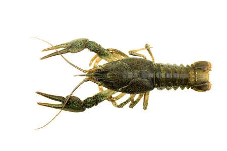 crayfish on isolated white background