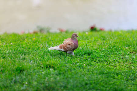 dove in the Park on green grass Stock Photo