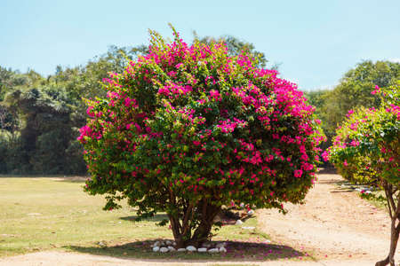 large flowering Bush with pink flowers in gadren. natural background