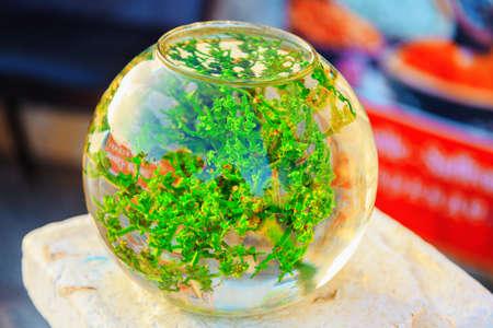 spherical aquarium with green algae, fish house