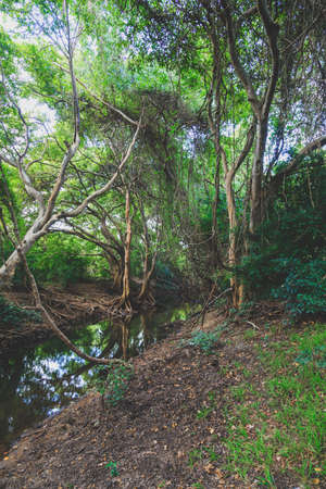 Mangrove rainforest with high trees and river in Sri Lanka, natural background Stok Fotoğraf