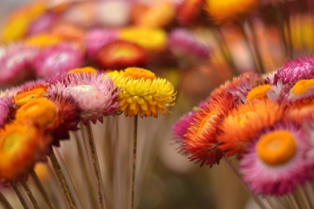 everlasting: The colorful everlasting flowers