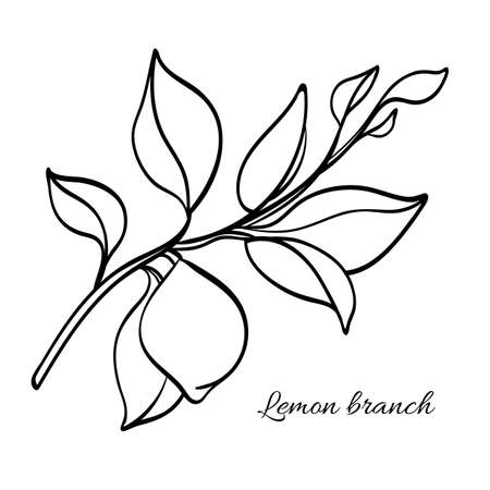 Branch of lemon tree with leaves and natural fruit. Botanical contour drawing. Vector illustration isolated on white background eps.10 Illustration