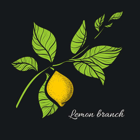 Branch of lemon tree with green leaves and natural yellow fruit. Botanical contour drawing. Vector illustration isolated on dark background Illustration